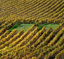 photoj  South Australia, Vineyard by photoj
