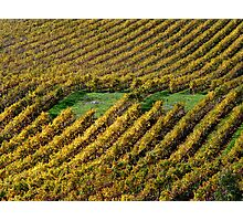 photoj  South Australia, Vineyard Photographic Print