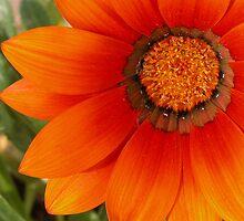 Blazing Orange Gazinia by mnkreations