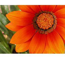 Blazing Orange Gazinia Photographic Print