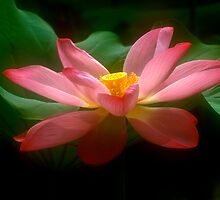 Lotus #18 by Janos Sison