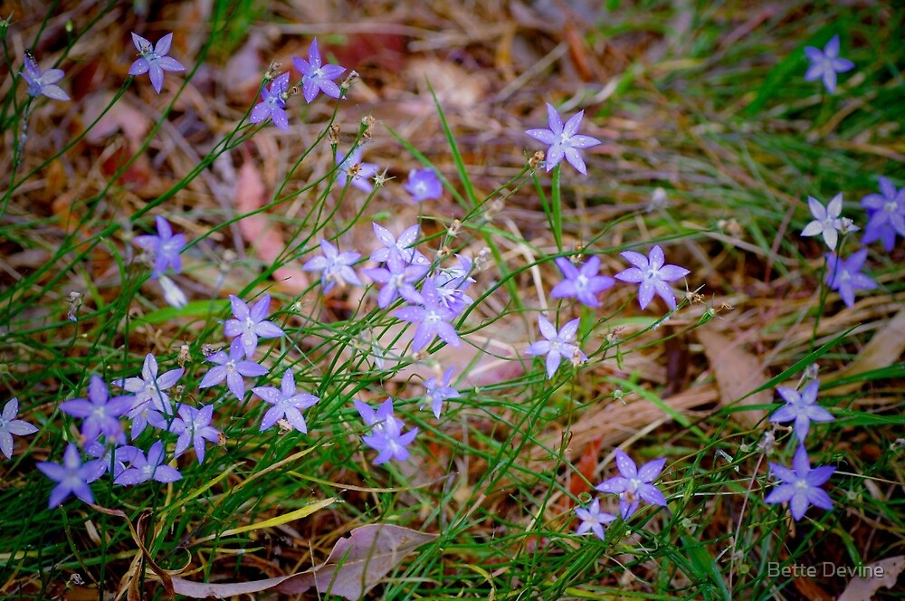 Native Bluebell. by Bette Devine