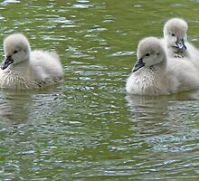 Three Black Swan Cygnets by AARDVARK
