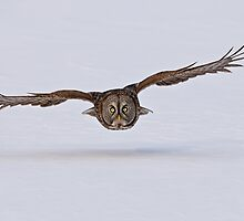 Great Grey Owl Cruising by Owl-Images