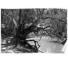 River Red Gum - Darling River, Kinchega NP, NSW Poster