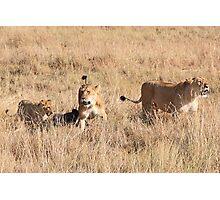Lions Guarding a Kill, Maasai Mara, Kenya  Photographic Print