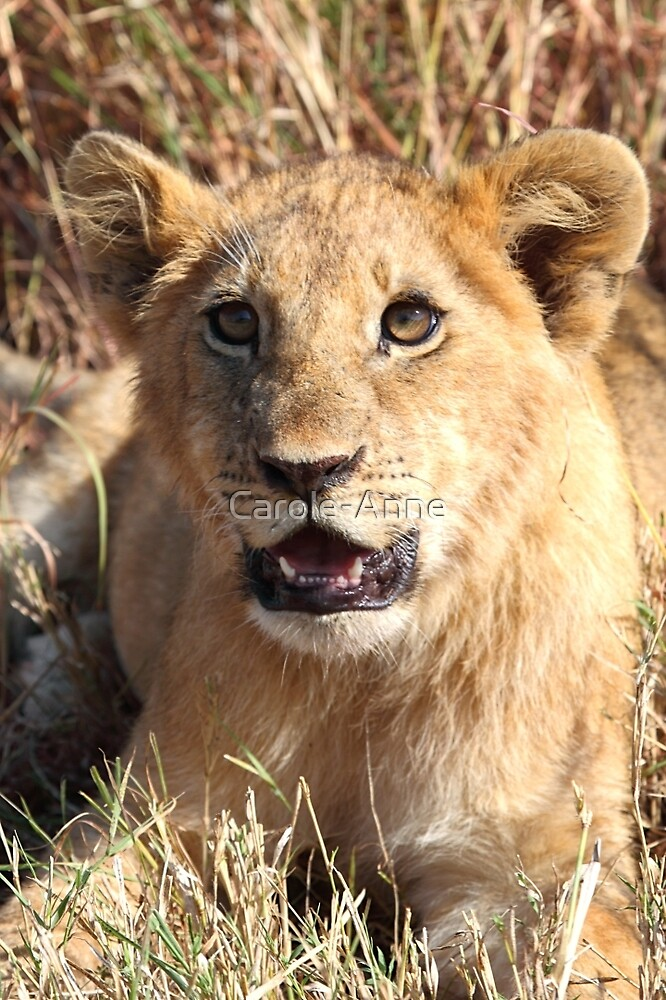 Lion Cub Resting, Maasai Mara, Kenya by Carole-Anne