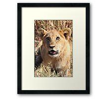 Lion Cub Resting, Maasai Mara, Kenya Framed Print