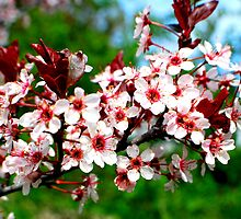 Branch of Blossoms by buddykfa