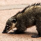 Coati - Nose to the Ground by photograham