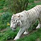 Tiger by zaphos