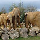 Elephants by zaphos