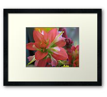 Indian Paint Brush (color) Framed Print
