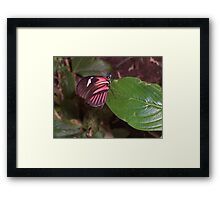 Perching Red Admiral Framed Print