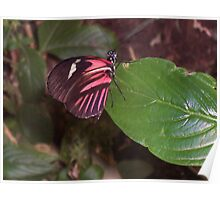 Perching Red Admiral Poster