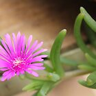 Vygie - Lampranthus roseus by Maree  Clarkson
