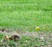New Goslings by LavenderMoon