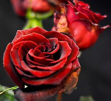 Roses are Red by slbphoto