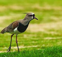 Southern Lapwing (Vanellus chilensis) by photograham