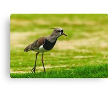 Southern Lapwing (Vanellus chilensis) Canvas Print