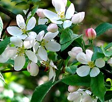 Apple Blossom Time by Betty Mackey