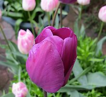 Pink and Purple Tulips by SunriseRose