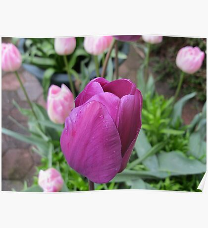 Pink and Purple Tulips Poster
