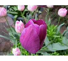 Pink and Purple Tulips Photographic Print