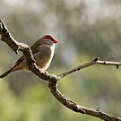 Red-browed Finch visiting the Aviary. by John Sharp