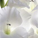 White Glads by Nancy Polanski