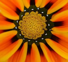 Orange gazania by JBlaminsky