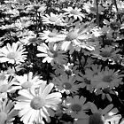 field of flowers black and white, tasmania by Maike