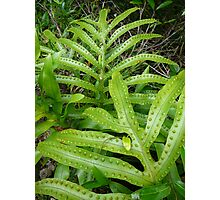 young fern, Lord Howe Island Collection Photographic Print