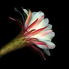 Cactus Flower by Scanart