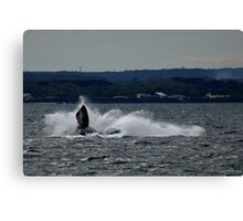 Southern Right Whale 13 Canvas Print