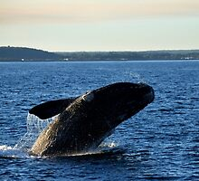 Southern Right Whale 17 by Vanessa Reid