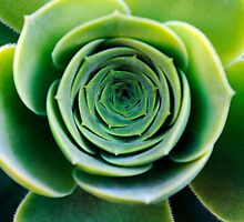 Green houseleek     by JBlaminsky