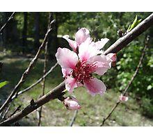 Potential Peaches Photographic Print