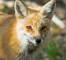 Yet Another Red Fox by Jay Ryser