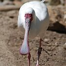 Spoonbill by Anne Smyth