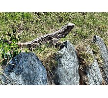 Sunning Lizard Photographic Print