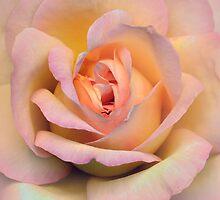 Pastel pink rose by JBlaminsky