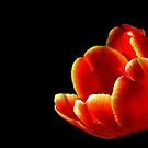 Tulip by Janine  Hewlett
