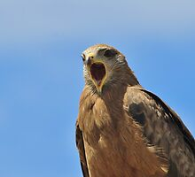 Yellow Billed Kite - Calling all Friends by LivingWild