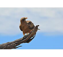 Yellow Billed Kite - Looking at Heaven Photographic Print