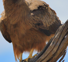Yellow Billed Kite - Looking at Heaven Sticker