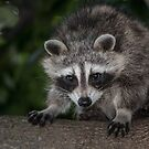 young raccoon in a tree by AlRobinson