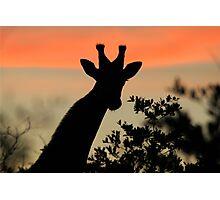 Giraffe Sunset - African Wildlife - Majestic Peace Photographic Print