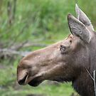 cow moose profile by AlRobinson