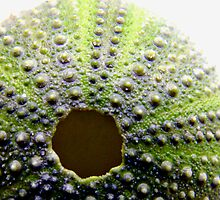 Urchin by Rachael Evans